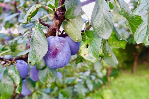 Fresh plums growing from a tree